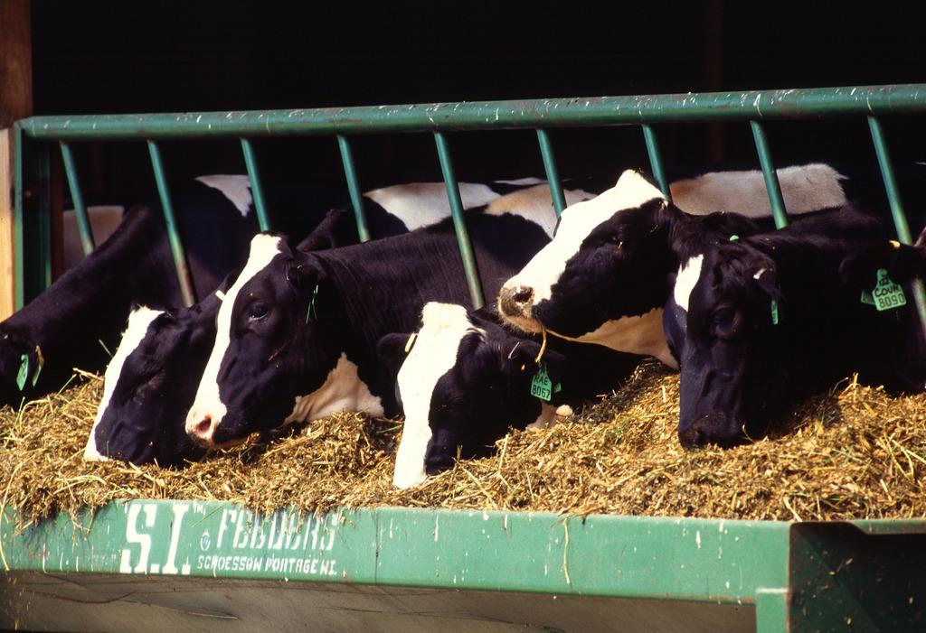Vacas comiendo